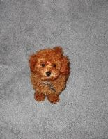 Minature Poodle by Freaky4life911