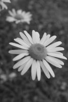 Daisy by Atlantic-crab-meaT