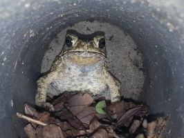 Toad 28Nov2014 2 by RiverKpocc