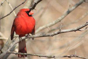 Northern Cardinal by timseydell