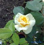 Small rose in the garden by sasmile