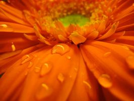 Orange Flower I by designing-Life