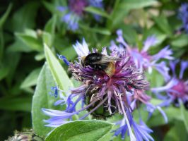 Bee on a Centaurea montana by DuneDrifter