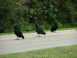 Black Vultures 046 by TheGreatWiseAss