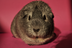 Guinea pig stock 04 by windfuchs