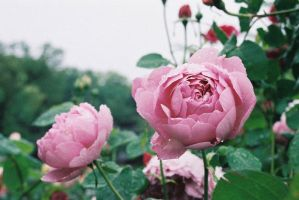 The Rose Garden 5 by freyiathelove