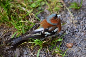Hungry Chaffinch by iiduh