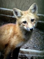 Red Fox by Tailfeathrz