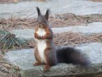 Squirrel, last one for today ! by Ness-du-Frat