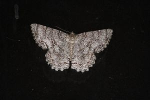 Moth Front by Irie-Stock
