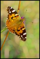 Painted Lady by Pildik