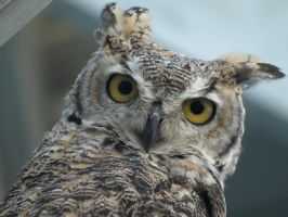 Great Horned Owl 2 by KodaSilverwing