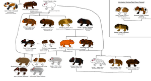 Guinea Pig Family Tree by FanguoftheFlowers