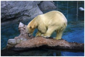 PolarBear Photo2 by kermittheotherfrog