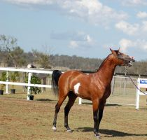 TW Arab Pinto Stallion Calling out by Chunga-Stock