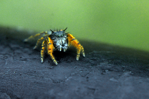 Jumping Spider by Daemare