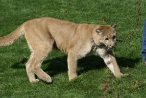 Cougar 005 by MonsterBrand-stock