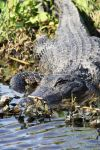 American Alligator - Sunning at Brazoria by Shadow848327