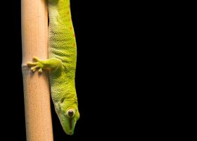 Giant Day Gecko by KrakenWakes