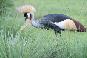 Grey Crowned Crane I by Stock-Wulf