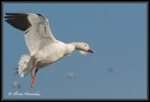 Snow goose 17 by Ptimac