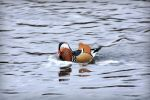 Mandarin Duck by Chugogabu