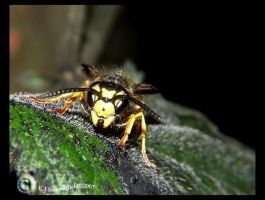 Vespula vulgaris 1 by KJSummerfield