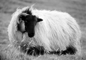 Connemara Sheep by alessandrodelp