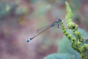 Damselfly by Y-A-J-A-I