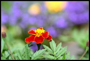 french marigold by 21711