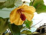Abutilon 'Fool's Gold' by duggiehoo