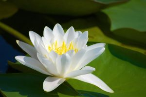 White Water Lily by pvf
