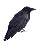 Crow PNG.. by Alz-Stock-and-Art