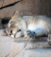 Let a sleeping lioness lie by fosspathei