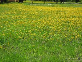 Yellow flower field by semireal-stock