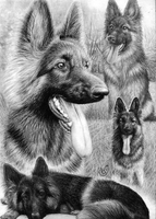 German Shepherd Collage by Yankeestyle94