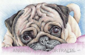 pug drawing in colour biro by angelfaces1986