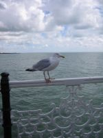 Seagull by Hrivalasse-stock