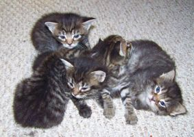 Tabby Kittens by Rhabwar-Troll-stock