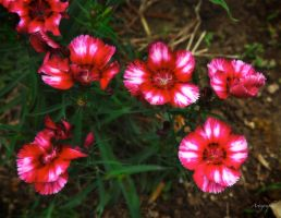 DIANTHUS by Artographs