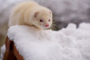 Christmas Ferret by sleepsoftbeautiful