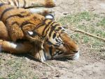 Tired Tiger by lookoutpaulie