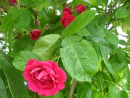 Cerise roses by Gallerica