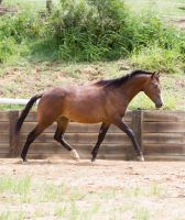 KM Uphill engaged trot side view by Chunga-Stock
