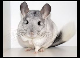 My Chinchilla, Polo by EclipseThe1st