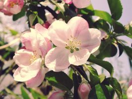 Apple Blossoms by Klytia70