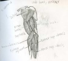 Muscles - Arm, Left, Posterior view by Mismatching-Socks