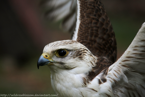 Saker Falcon by wildroseblossom