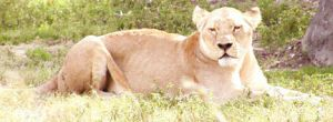 Zoo-Lioness by zoogirl