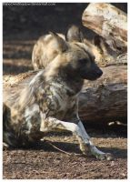 African Wild Dog 020 by ShineOverShadow